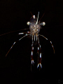   Golden Girl 15 cm small shrimp. 60mm lens 10 diopter attached. shrimp attached  
